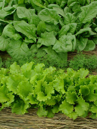 some types of greens growing together on mixed vegetable bed