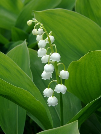 flowering lily of the valley                                photo
