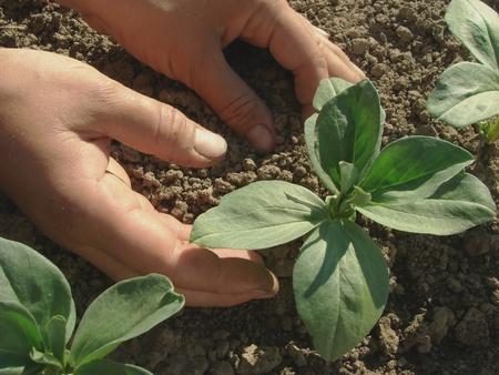 hoeing: hands hoeing beans seedlings on the vegetable bed