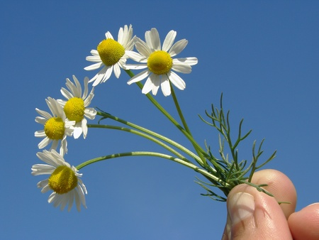 hand with wild chamomile flowers                                photo