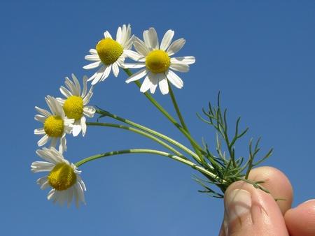 matricaria recutita: mano con fiori di camomilla selvatica                                Archivio Fotografico