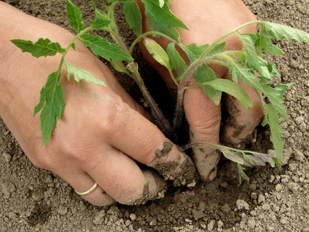 woman hands planting tomato seedlings                                photo