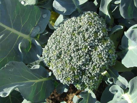 br�coli:  br�coli joven creciendo en la cama de vegetal