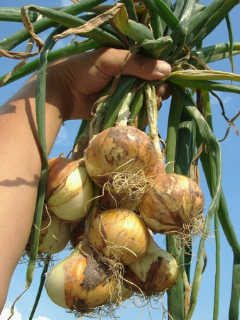 hand holding fresh onions bunch against blue sky                                photo