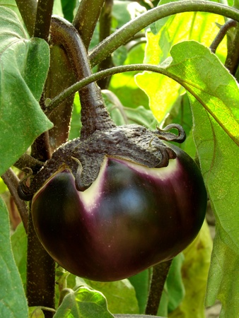 young eggplant fruit growing in the garden Stock Photo - 10100856