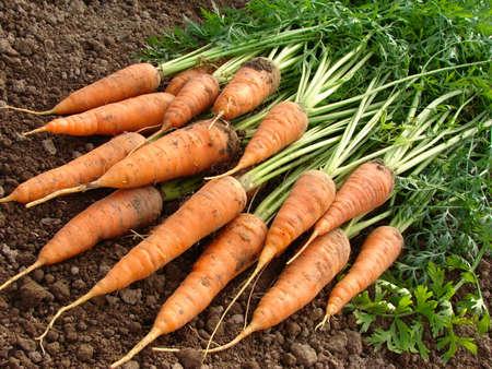 fresh carrots bundle                                Stock Photo