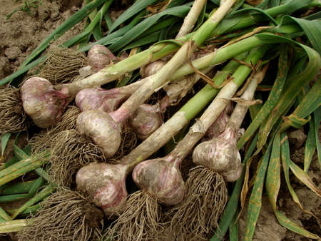 fresh garlic: some garlic bulbs with tops on the ground                                Stock Photo
