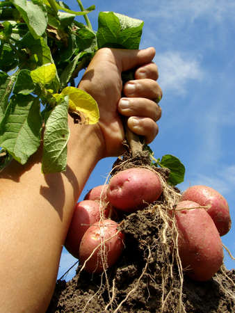 crop harvesting: farmer hand with fresh digging potato plant with tubers