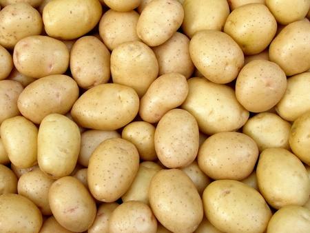 fresh harvested yellow potato tubers                                photo