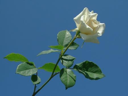 single rose against blue sky                                photo