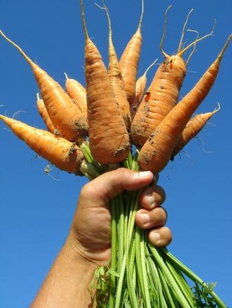 hand holding fresh carrots bundle Stock Photo - 10319453
