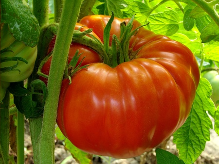 red giant tomato ripening on the branch                                Stock Photo