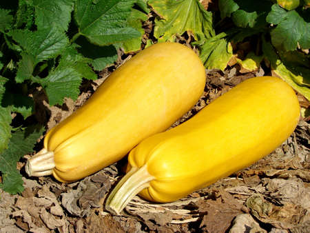 marrow squash: two ripen marrows on the ground                                Stock Photo