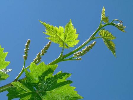 vine country: vine sprout with young grape clusters against blue sky