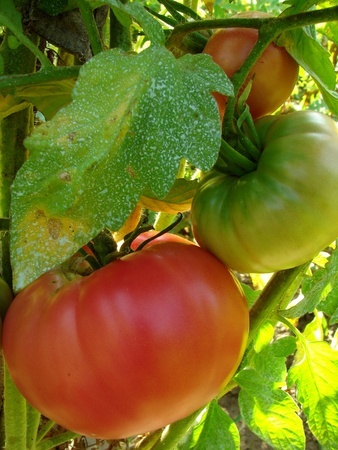 fungal: pink tomato plant sprayed with Bordeaux mixture to protect against fungal infections                               Stock Photo