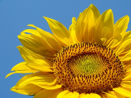 yellow sunflower against blue sky                                photo