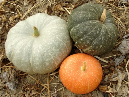 three colorful pumpkins on the ground                                photo