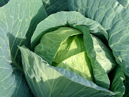 young sunny cabbage head with dew drops                                photo