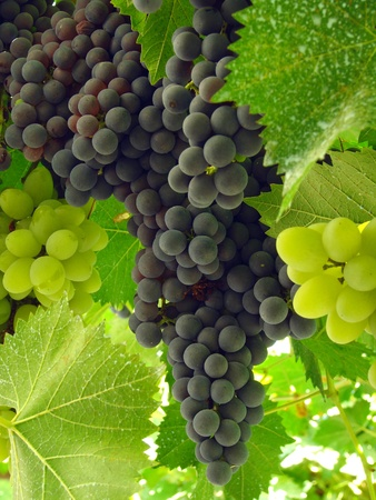 grape leaf: ripening grape clusters on the vine                                Stock Photo