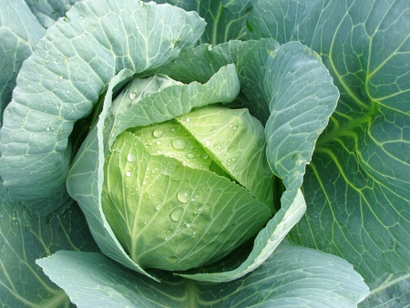 fruiting: young cabbage head with water drops                Stock Photo