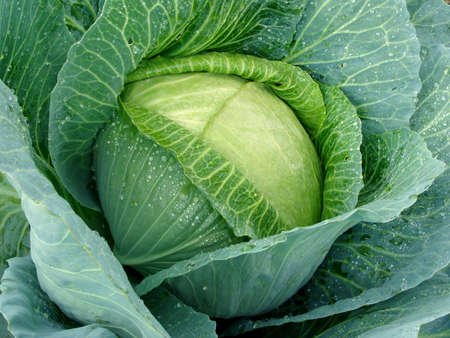 green cabbage: cabbage head with dew drops                                    Stock Photo