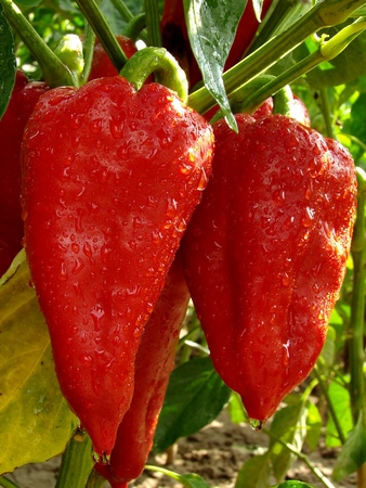 ripen: red ripen peppers on the branch                                Stock Photo