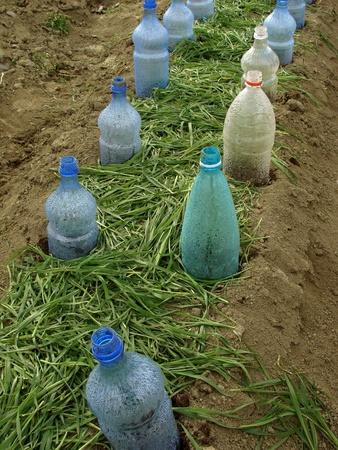 paillis: lit de l�gumes avec des bouteilles en plastique comme des foyers de petites et de paillis d'herbe �parpill�s entre eux pour garder l'eau et l'am�lioration des sols Banque d'images
