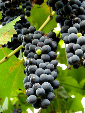 ripening black grape clusters on the vine