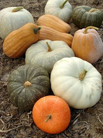 some ripen pumpkins of different varieties on the ground                                photo