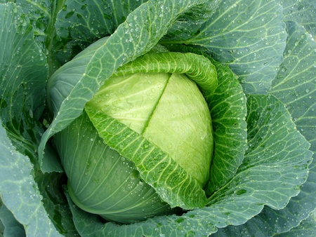 cabbage patch: sunny cabbage head with dew drops