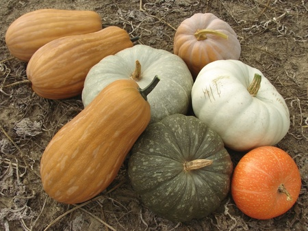 ripening: some ripen pumpkins of different varieties on the ground