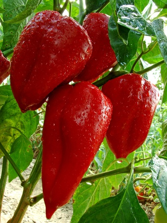red peppers ripening on the vegetable bed                                photo