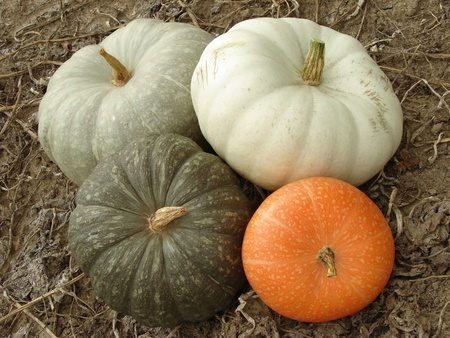 some ripen pumpkins of different varieties on the ground                                Stock Photo - 10704362