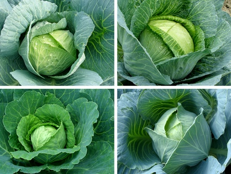 set of cabbages growing on the vegetable bed photo