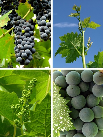 collage of growing grape clusters on the vine photo
