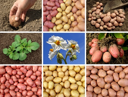 collage of potatoes growing