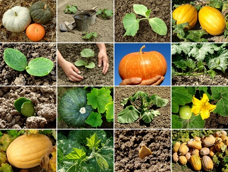 gourds: pumpkin from seed to fruit Stock Photo