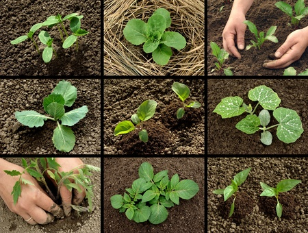 cabbage patch: vegetable seedlings collection Stock Photo