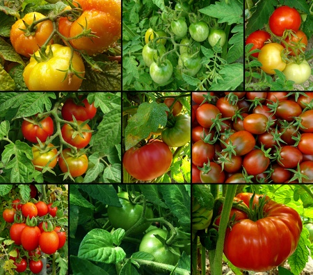 collage of organic tomatoes in the garden
