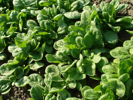spinach vegetable bed top view                                Stock Photo