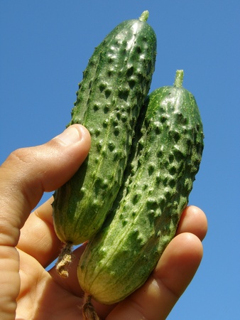 home grown: hand with pair of freshly picked home grown cucumbers