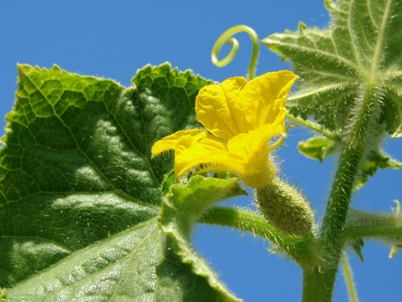 flowering cucumber plant fragment against blue sky                                photo