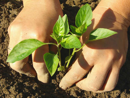 capsicums: hands planting pepper seedlings into the ground