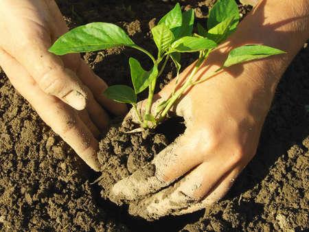 siembra: la plantación de plántulas de pimiento manos en el suelo Foto de archivo