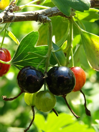 ripening: blackcurrant berries ripening on the branch                                Stock Photo