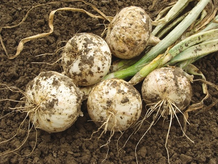 fresh harvested white onion bulbs photo
