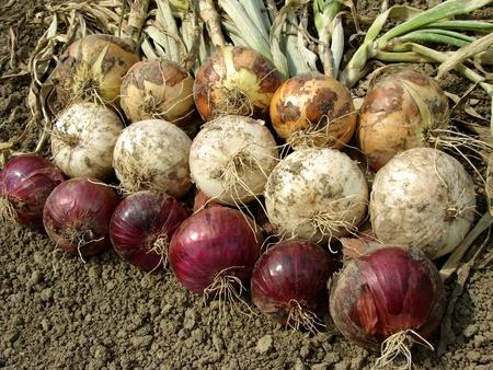 harvested onion bulbs different varieties                                photo