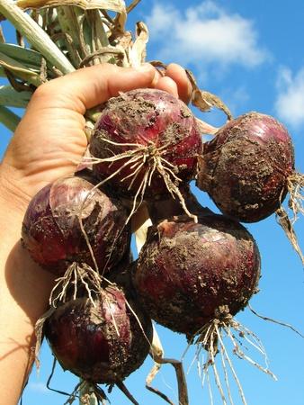 onions: cebollas rojas frescas en la mano los agricultores