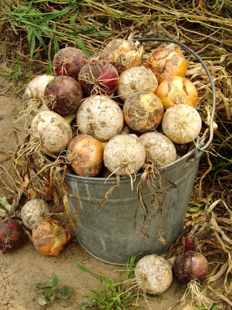 onions: bucket full of fresh onions different varieties                                Stock Photo