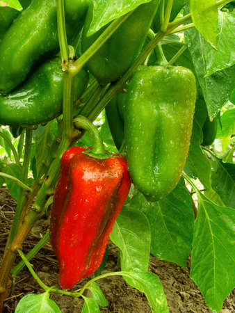 growing and ripening sweet peppers photo